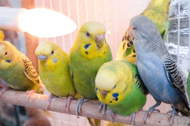 Pappagalli in una gabbia fotografia stock