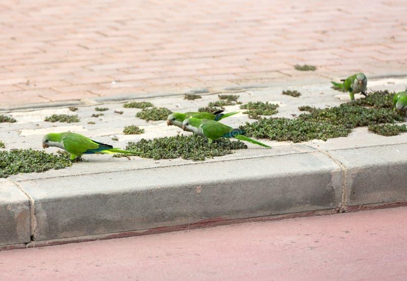 Pappagalli verdi sulla via in Jandia su Fuerteventura fotografia stock
