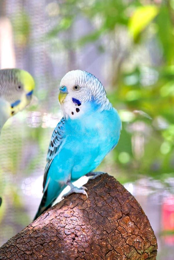 Pappagallino ondulato australiano blu, Budgie fotografia stock libera da diritti