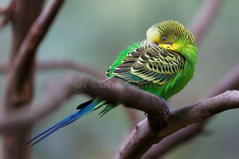 Pappagallino ondulato - pappagallo di canzone che si appollaia e primo piano di sonno fotografia stock libera da diritti