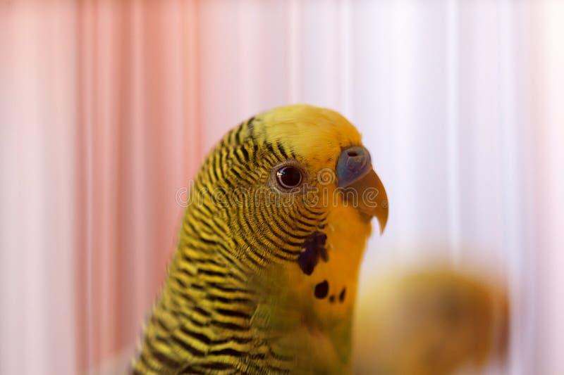 Pappagallino ondulato, primo piano degli uccelli di Budgie con il fuoco selettivo su fondo Budgies verdi in birdcage Pappagalli fotografie stock