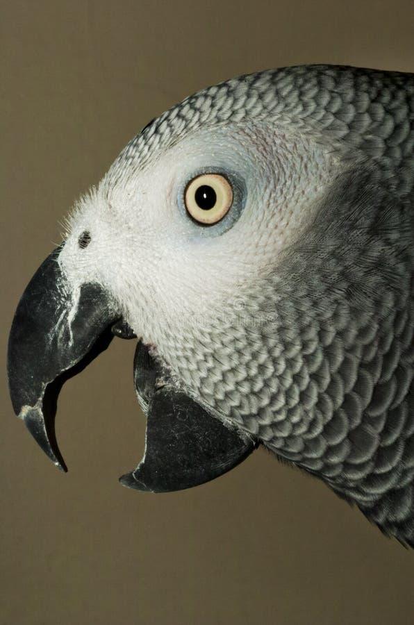 Pappagallo 003 di gray africano immagine stock libera da diritti