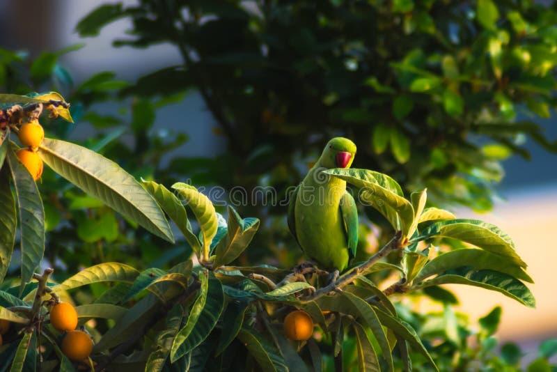 Pappagallo fotografie stock