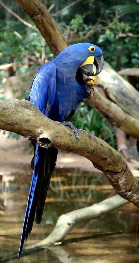 Pappagallo blu fotografia stock libera da diritti