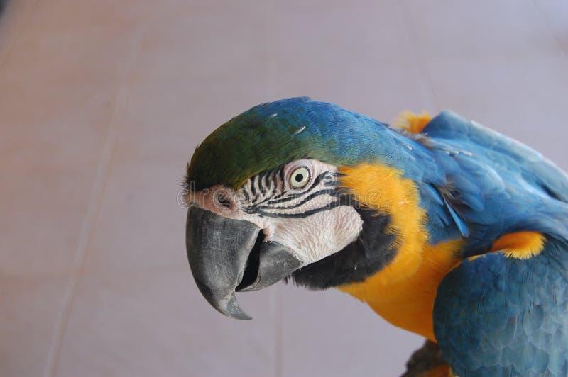 Pappagallo blu e giallo del Macaw immagine stock libera da diritti