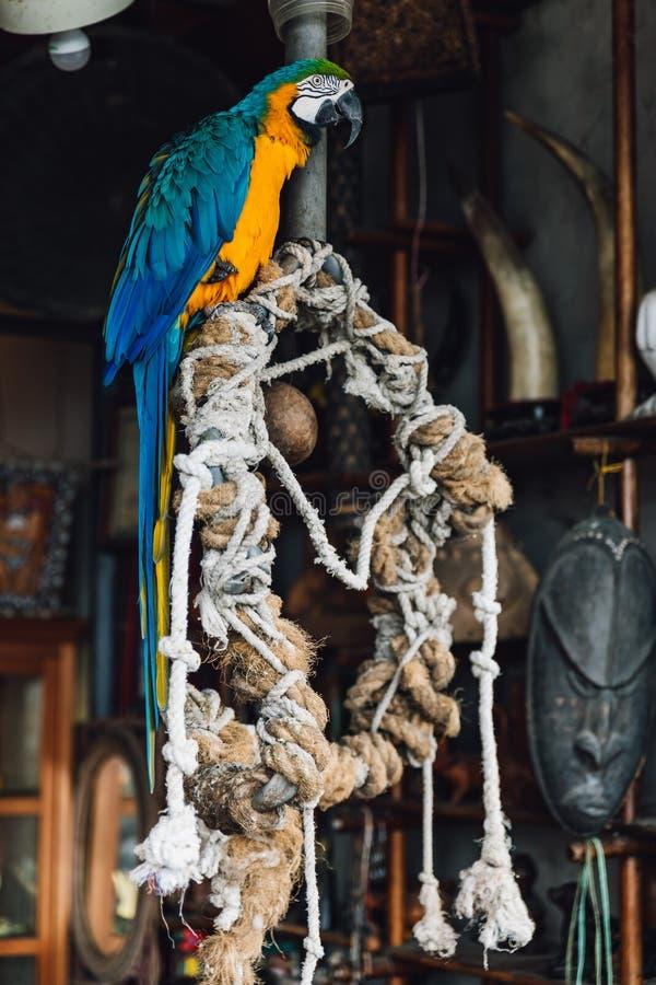 Pappagallo blu-e-giallo dell'ara, condizione esotica variopinta a coda lunga dell'uccello sull'albero con le corde nel distretto  fotografie stock
