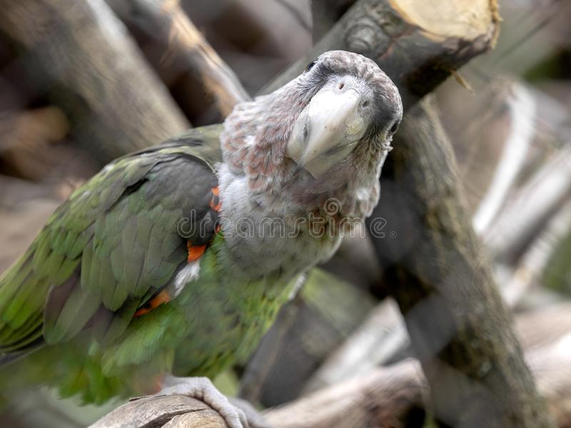 pappagallo Brown-con il collo, fuscicollis di Poicephalus, pappagallo con le piume rosse sull'ala immagini stock