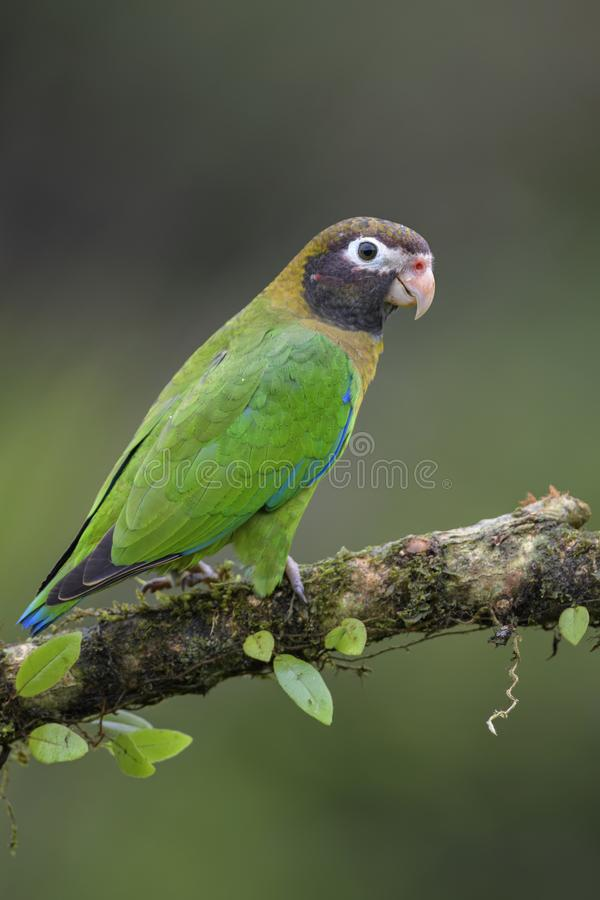 pappagallo Brown-incappucciato - haematotis di Pyrilia immagini stock libere da diritti