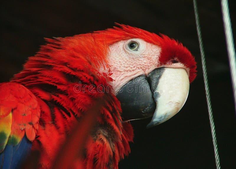 Pappagallo in cancun fotografie stock libere da diritti