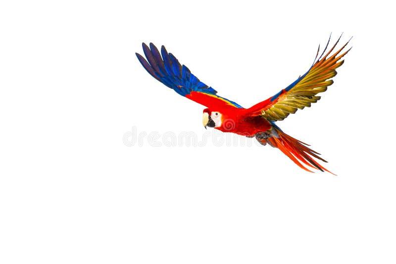 Pappagallo Colourful di volo fotografie stock
