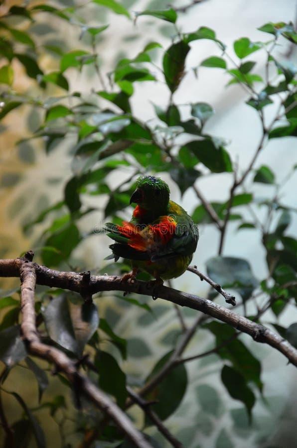 Pappagallo d'attaccatura primaverile dell'uccello variopinto verde fotografia stock libera da diritti