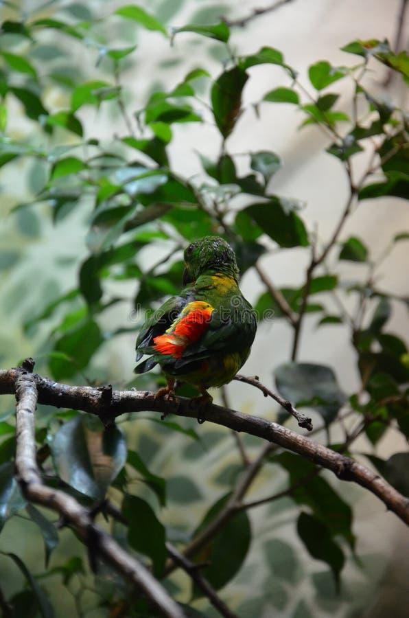 Pappagallo d'attaccatura primaverile dell'uccello variopinto verde fotografie stock libere da diritti