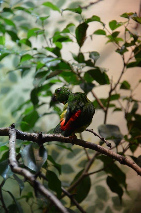 Pappagallo d'attaccatura primaverile dell'uccello variopinto verde immagini stock libere da diritti