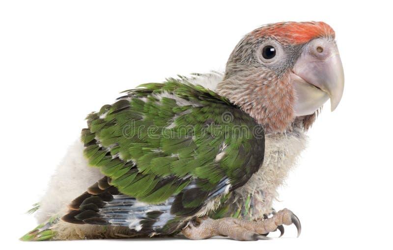 pappagallo dalla testa Brown, cryptoxanthus di Poicephalus, 2 mesi immagine stock libera da diritti