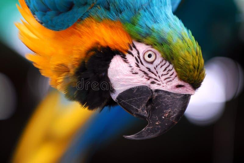 pappagallo del primo piano immagine stock