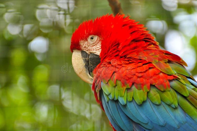 Pappagallo dell'ara, Ecuador fotografie stock libere da diritti