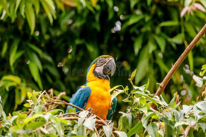 Pappagallo dell'ara in una foresta pluviale fotografia stock
