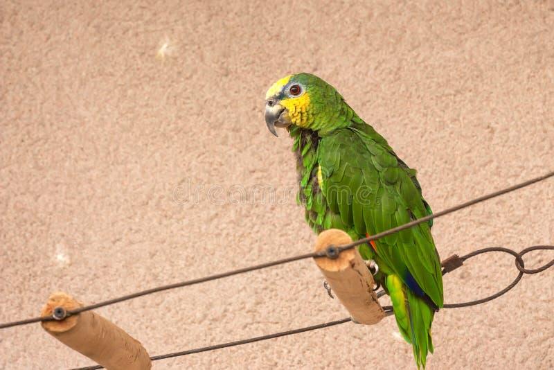 Pappagallo di Amazon Arancio-alato prigioniero fotografie stock libere da diritti