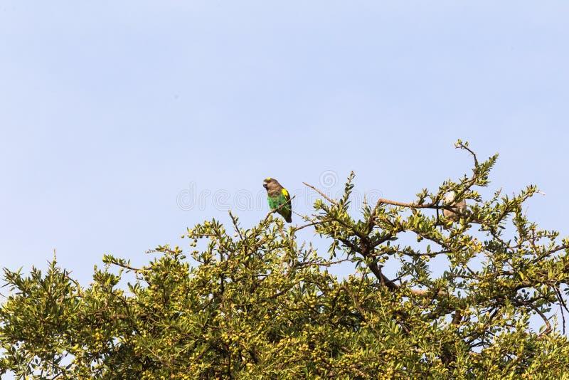 Pappagallo di Brown sull'albero Masai Mara, Kenia immagini stock libere da diritti