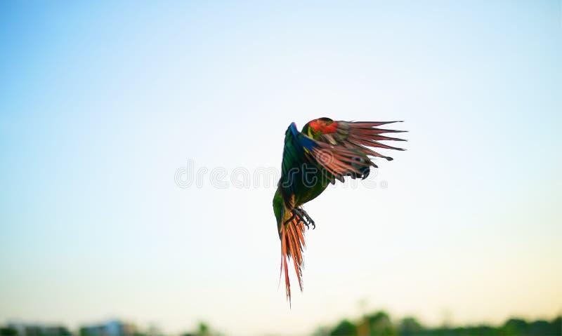 Pappagallo di volo sul cielo fotografie stock