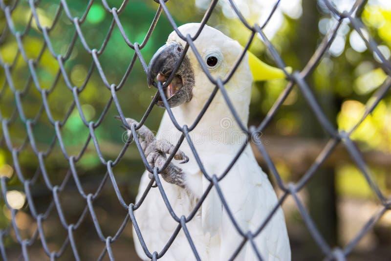 Pappagallo esotico bianco in gabbia Bello kakadu che tiene il suo becco dietro la rete fotografie stock libere da diritti