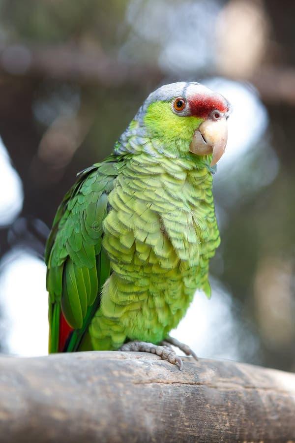 pappagallo Giallo-incoronato fotografia stock libera da diritti