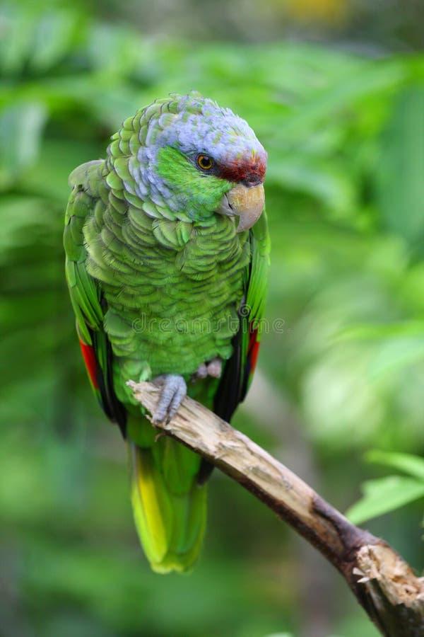 pappagallo Lillà-incoronato del Amazon immagine stock