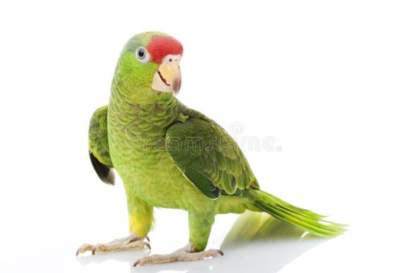 Pappagallo Red-headed messicano del Amazon immagine stock