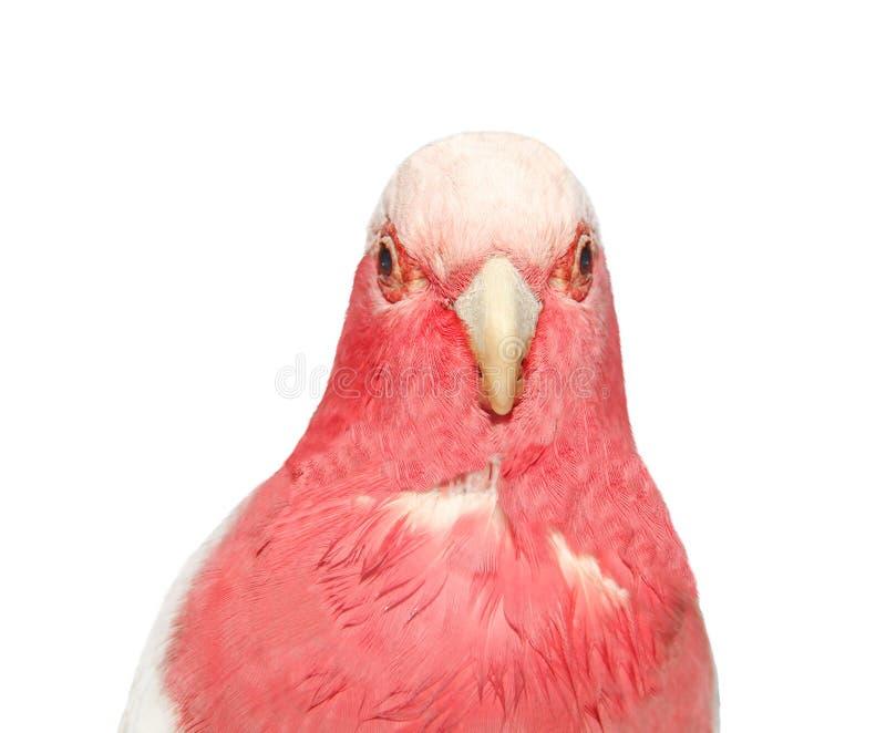 Pappagallo rosa isolato su bianco fotografia stock
