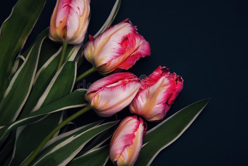 Pappagallo rosa Tulip Flower Boquet Isoalted della primavera su fondo scuro con la pasta della copia Bei fiori freschi per il reg fotografia stock libera da diritti