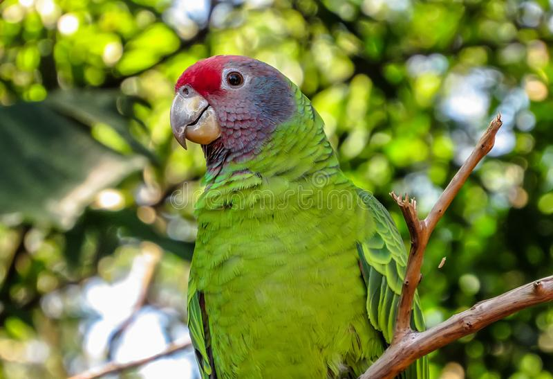 Pappagallo Rosso-munito di Amazon minacciato estinzione, Amazona Brasilie immagine stock libera da diritti