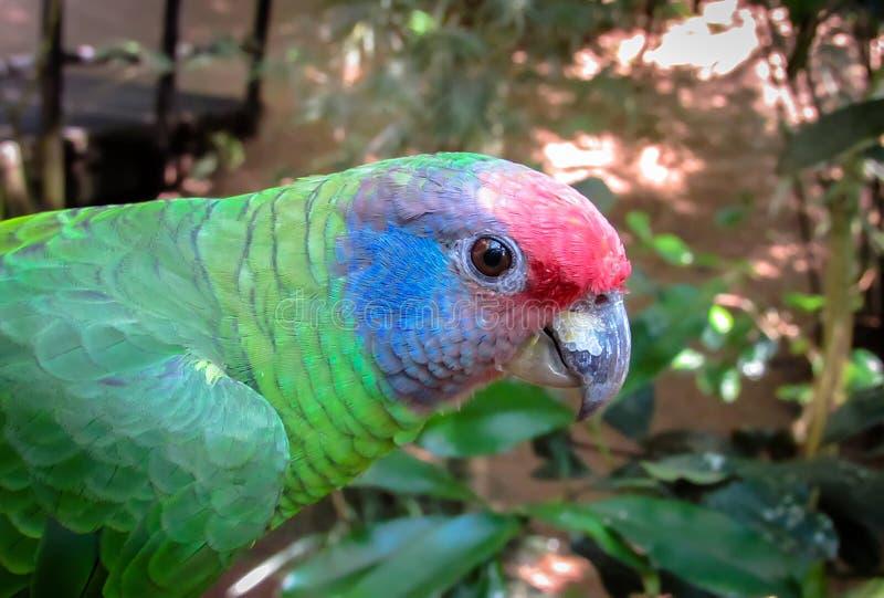 Pappagallo Rosso-munito di Amazon minacciato estinzione, Amazona Brasilie fotografia stock libera da diritti