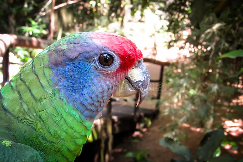 Pappagallo Rosso-munito di Amazon minacciato estinzione, Amazona Brasilie immagini stock