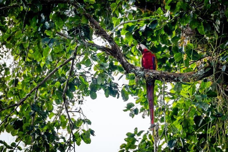 Pappagallo su un ramo nel Surinam fotografie stock libere da diritti