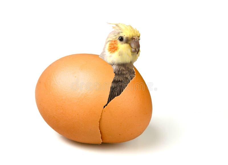Pappagallo sveglio appena nato (cockatiel) immagini stock libere da diritti