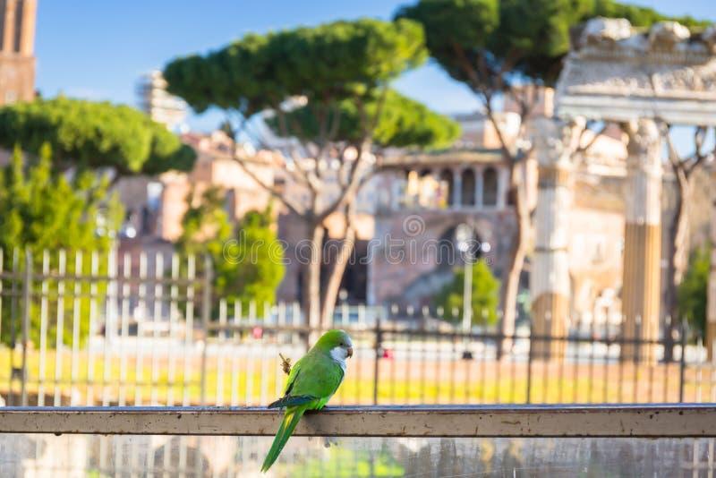 Pappagallo verde alle rovine di Roman Forum a Roma, Italia fotografie stock