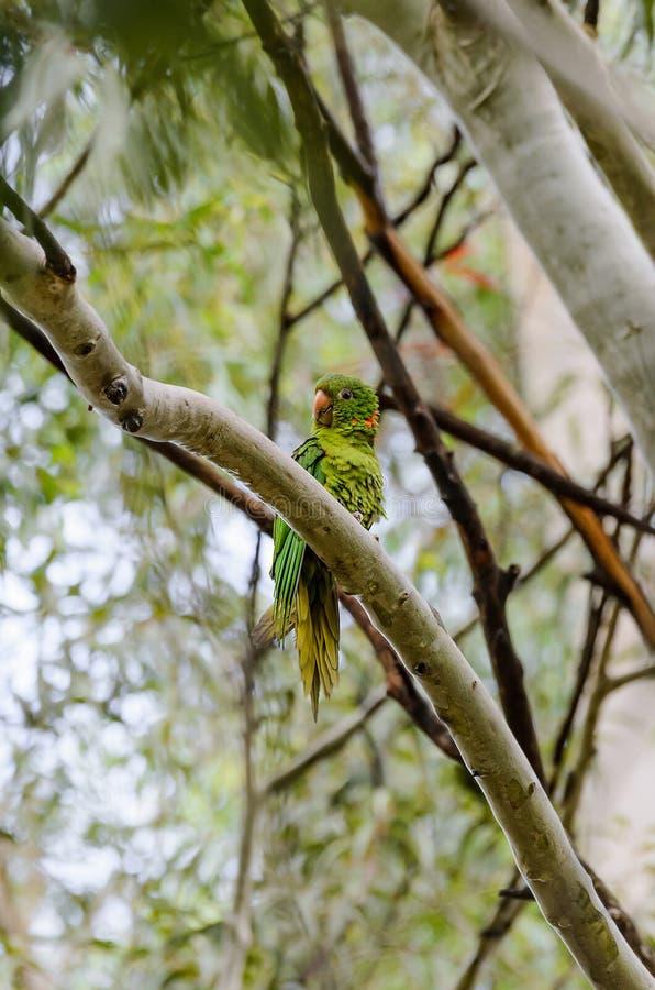 Pappagallo verde con il becco giallo su un ramo di albero fotografie stock