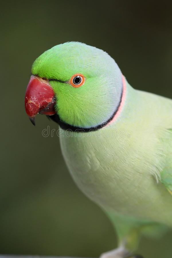 Pappagallo verde del collo dell'anello immagine stock
