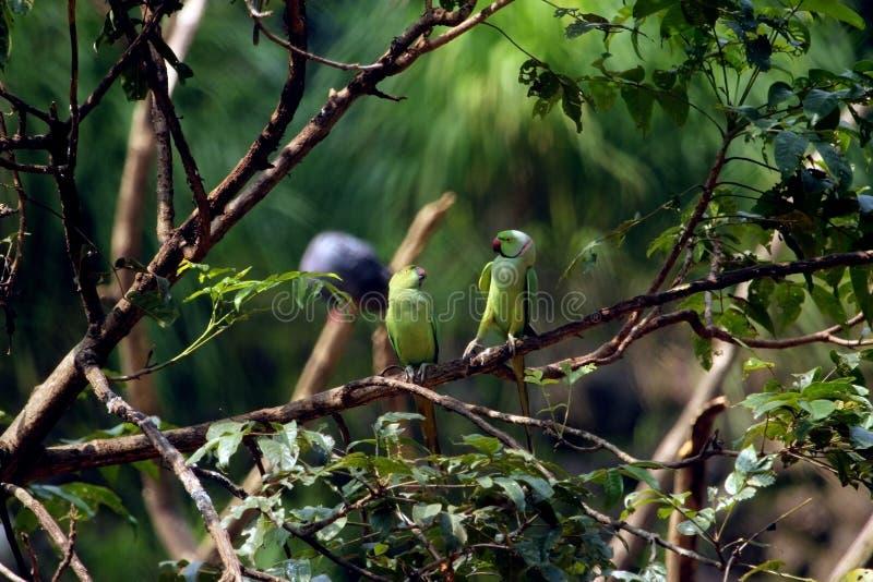 Pappagallo verde sui rami di albero immagini stock