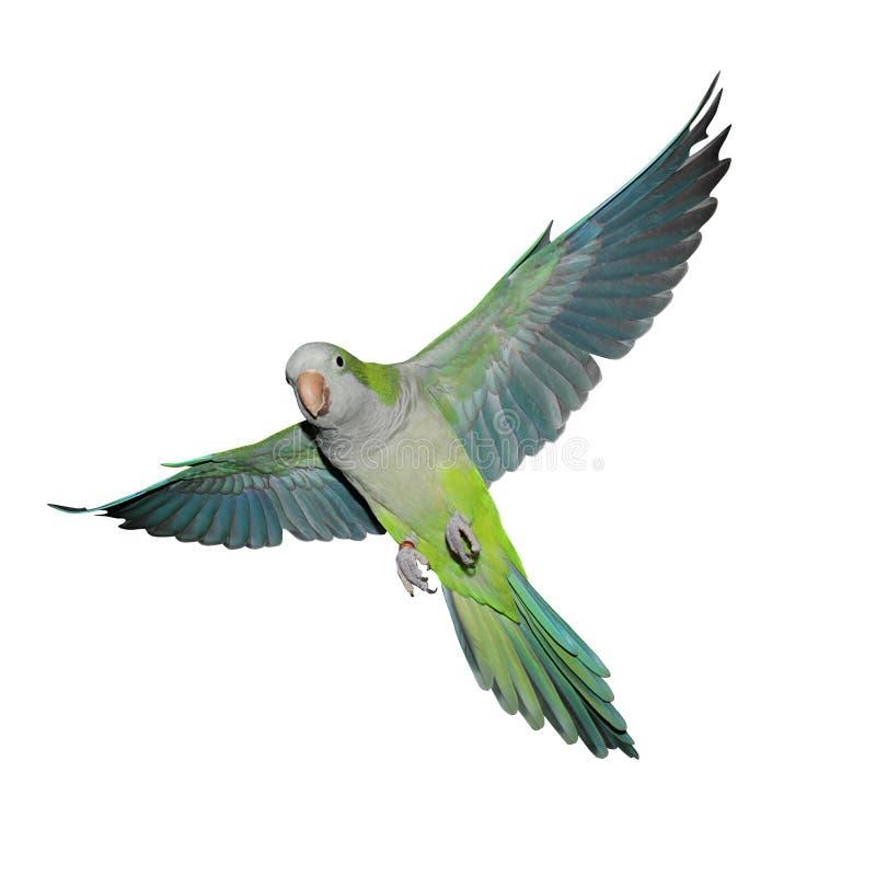 Pappagallo verde volante del quaker fotografie stock