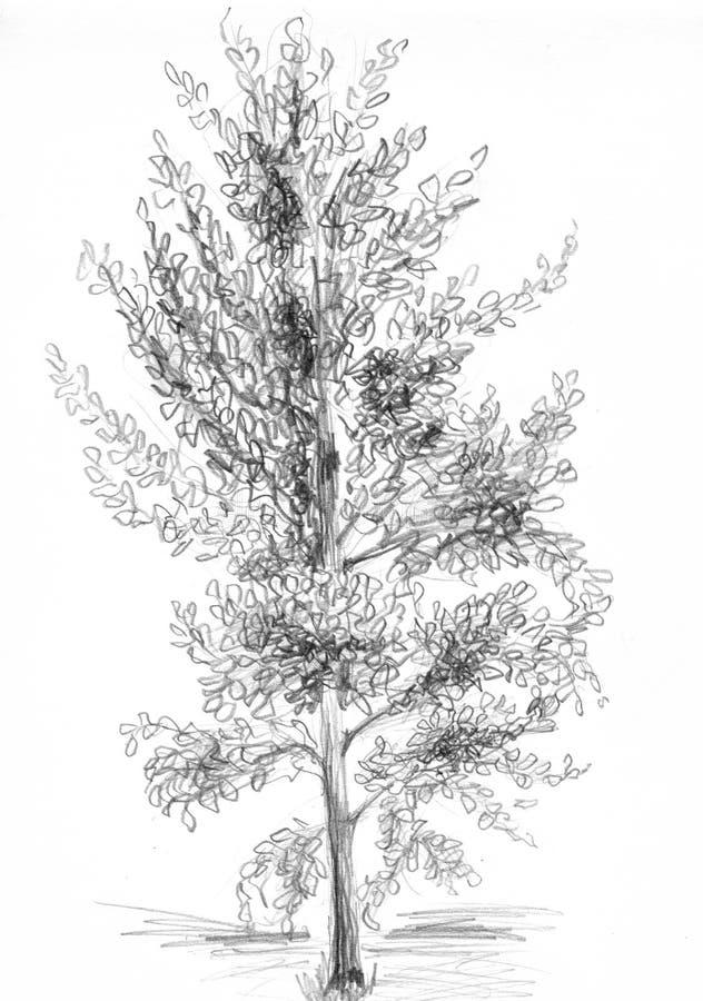 Pappel stock abbildung
