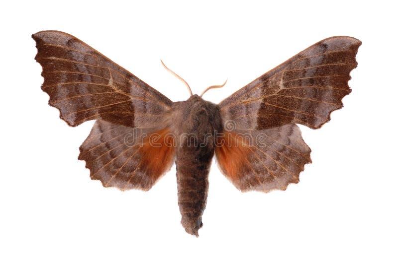 Pappel Falke-Motte stockfotos