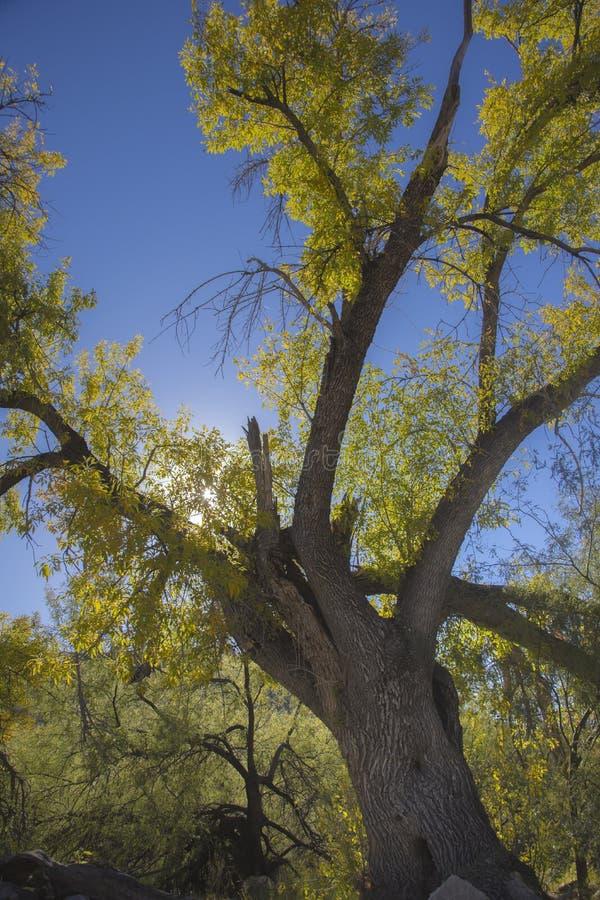 Pappelbäume in den Schluchten des Südwestens fallen in die Wüste von Arizona stockbild