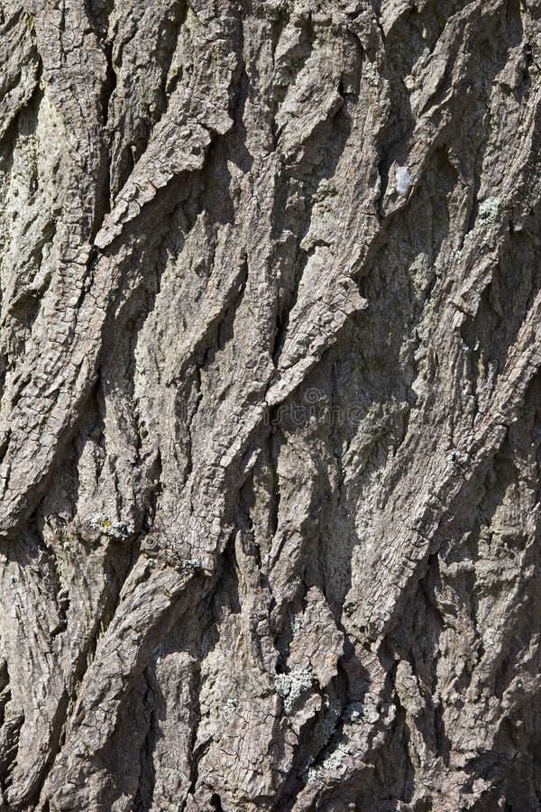 Pappelbarkenhintergrund lizenzfreie stockfotos