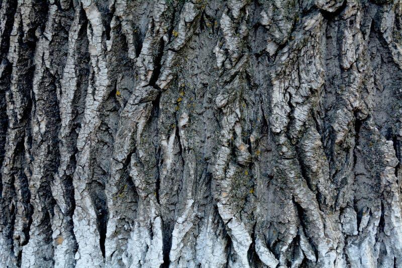 Pappelbarkenhintergrund stockfotos