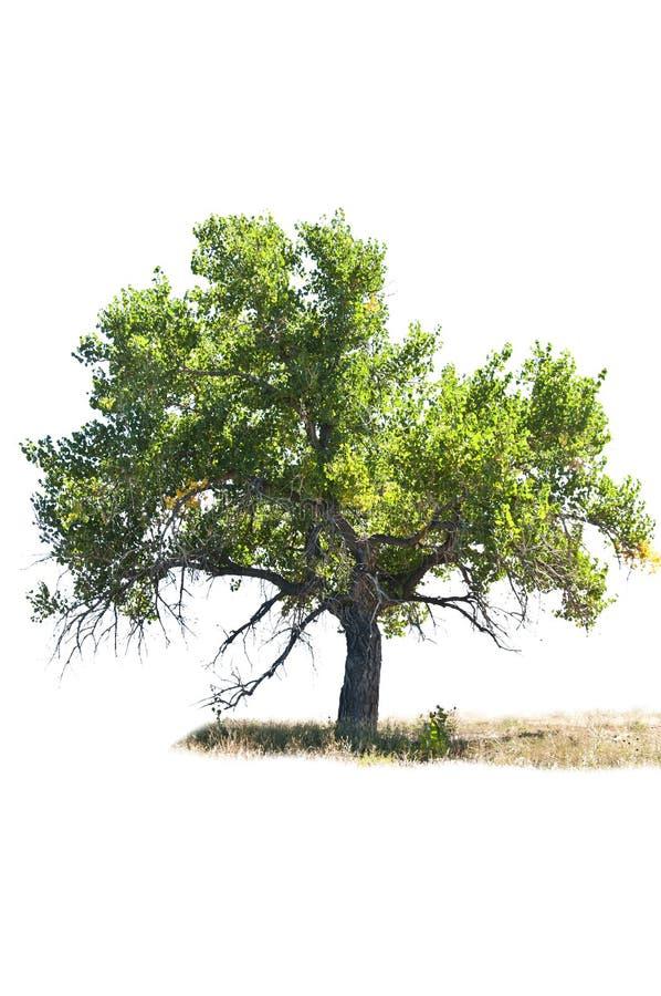 Pappelbaum getrennt auf Weiß lizenzfreies stockbild