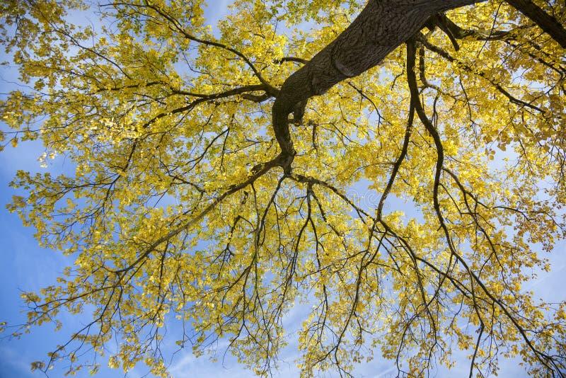 Pappelbaum im Sonnenlicht mit gelben Blättern gegen blaues skyn in a stockfoto