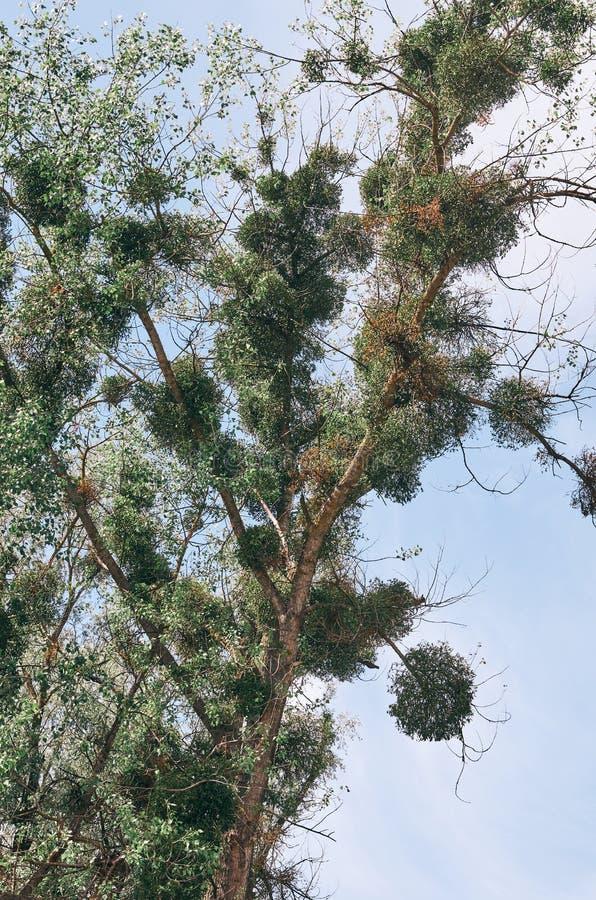 Pappelbaum Populus mit umfangreicher Mistelzweig Viscum-Albumüberwuchterung lizenzfreie stockbilder