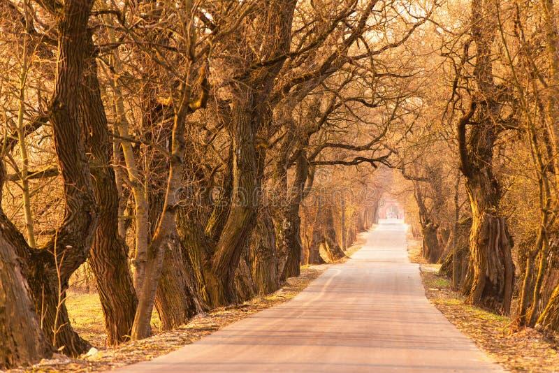 Pappelgasse im Frühjahr Majestätische alte Baumgasse stockfoto