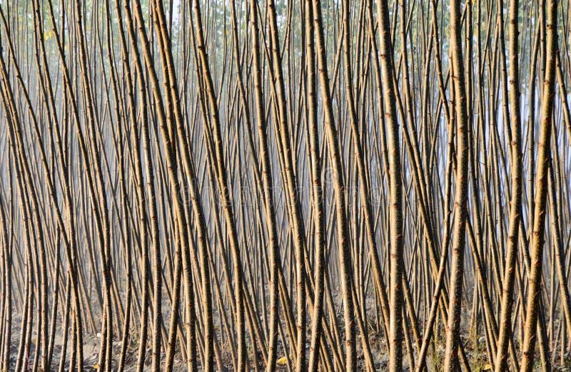 Pappelwaldung stockbilder